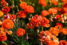 Ranunculus And Peonies Flower ...