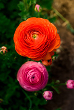 Ranunculus Flower Filed Compos...