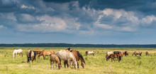 Herd Of Horses Grazing On The Field.