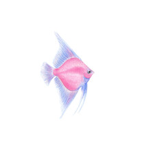 Angelfish Natural Illustration...