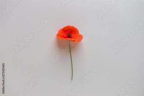 poppy flower. red poppy flower - 275425665