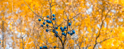 Photo Autumn panoramic natural background - blackthorn berries on a background of autu