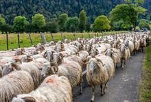 France, Pyrenees National Park, Vallee D'Ossau, Ewe Flock On The Plateau Du Benou
