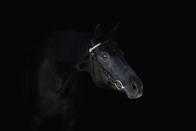 Portrait Of Beautiful Black Horse With Bridle Isolated On Black Background