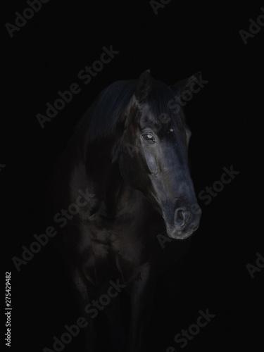 Fototapety, obrazy: portrait of stunning black horse isolated on black background