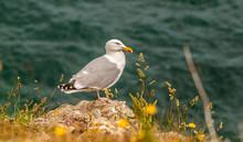 France, Brittany, Ile De Groix, Seagull