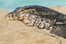 Water Monitor Lizard On Rocky Shore, Turtle Island