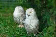 Two White Polar Owls In Green ...
