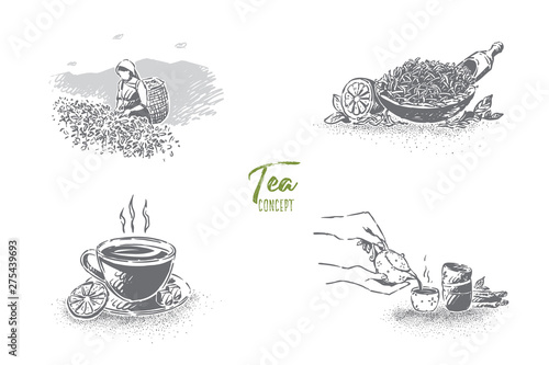 Fototapeta Plantation worker with basket collecting leaves, hot brew cup with lemon slice,