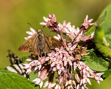A Duskywing Skipper Have Lunch On A Milkweed.