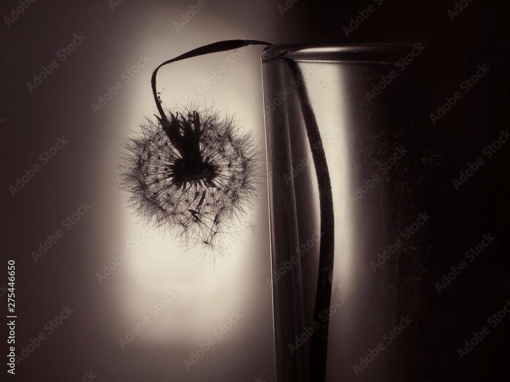 Fototapety, obrazy: dandelion shedding seeds