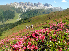 Austria, Tirol, Stubai Alps, A Groupe Of Hikers Is Crossing A Mounatin Field Covered With Pink Rhododendrons In Front Of The Kalkkögel Limestone Range.