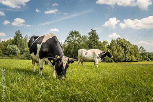 Fototapeta Krowy z podlasia obraz