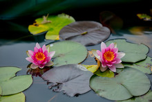 Pink Flower Of Water Lilies In Summer Time