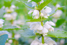 Medical Herb White Dead-nettle, Lamium Album, Weed Blooming Close-up