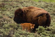 Bison And Calf In Lamar Valley...