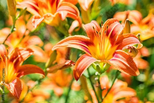Fototapeta Several Hemerocallis fulva or orange Daylily blooming in garden