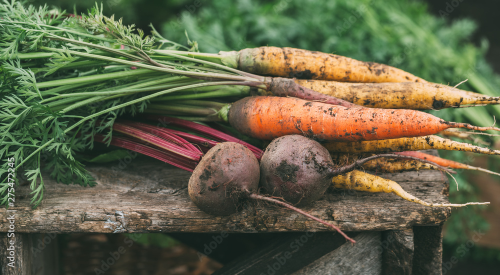 Fototapety, obrazy: Carrots and beets in the garden.