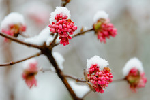 Macro Shot Of Red Flowering Tree Covered With Snow In Winter