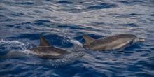 Atlantic Ocean Spotted Dolphin...