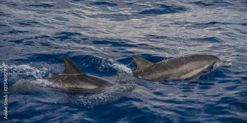 Tableau sur Toile Atlantic Ocean spotted dolphin madeira jumping