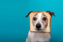 Cute Jack Russell Dog Wearing Slice Bread In Head On Blue Background