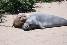 Two Young Elephant Seals