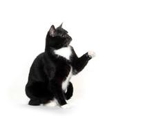 Blaxk And White Tuxedo Cat