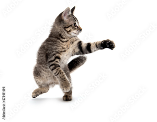 Tabby cat playing on white background