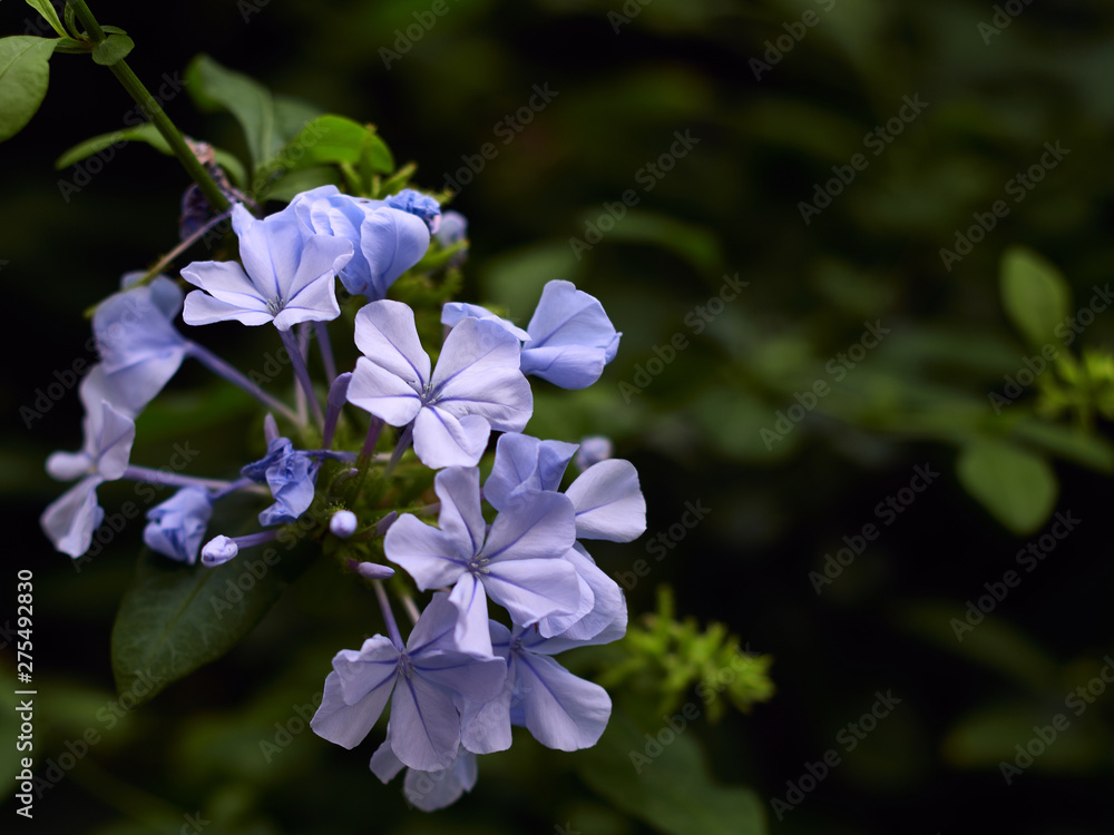 Fototapety, obrazy: Flower Plumbago auriculata background and space for text.