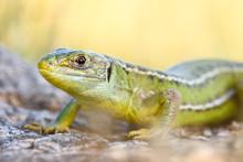 European Green Lizard, Lacerta...