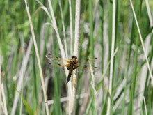Male Broad Bodied Chaser Drago...