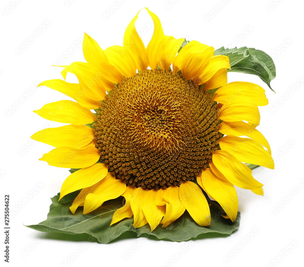 Fototapety, obrazy: Sunflower isolated on white background