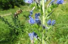 Bee Flies On Echium Vulgare Flowers