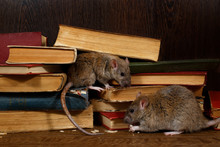 Close-up Two Rat (Rattus Norvegicus) Sits Near Old Books On The Flooring In The Library. Concept Of Rodent Control. Small DoF Focus Put Only To One Rat.
