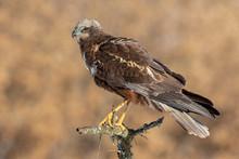 Birds Of Prey - Male Marsh Har...