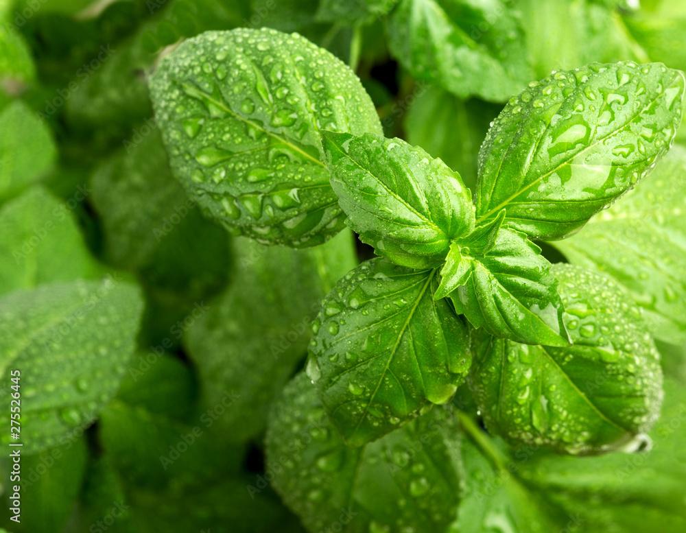 Fototapety, obrazy: Fresh green basil leaves