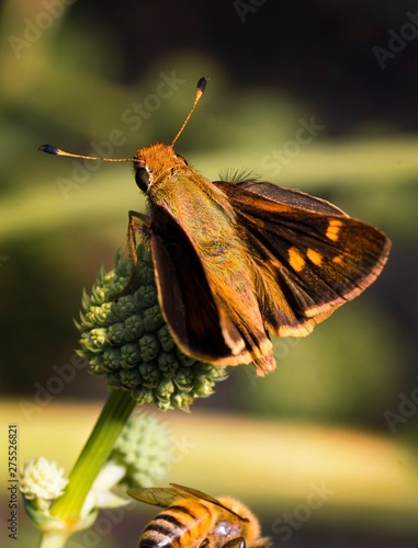 This is an epic outdoor macro capture of a beautiful umber skipper butterfly on an interesting green spiked plant.