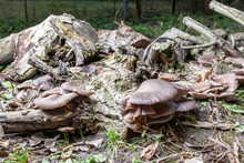 Oyster Mushrooms Are Grown On ...