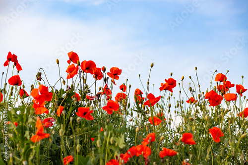 beautiful poppy field- Armistice or Remembrance day background - 275535244