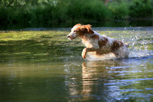 Russian Hunting Spaniel Dog On The Hunt Runs In The River