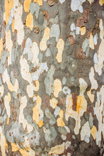 A Close Up Of The Surface Pattern Created By The Bark On The Trunk Of A Plane Tree. Patterns On The Bark Of Plane Tree Or Sycamores Tree. Texture Of The Bark Of Plane Tree