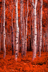 Panel Szklany Podświetlane Brzoza Surreal red fall aspens in the Wasatch Mountains, Utah, USA.
