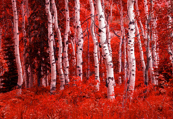 Fototapeta Brzoza Surreal red fall aspens in the Wasatch Mountains, Utah, USA.