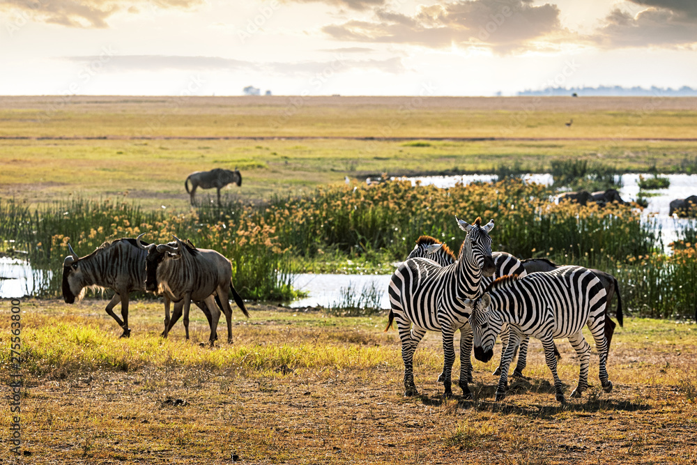 Fototapety, obrazy: Zebra and Wildebeest in Amboseli Kenya Field
