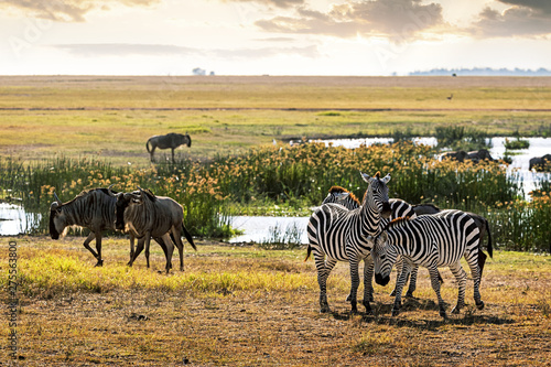 Tuinposter Zebra Zebra and Wildebeest in Amboseli Kenya Field