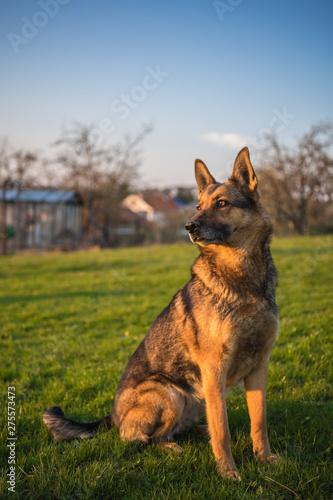 Fototapeta Deutscher Schäferhund