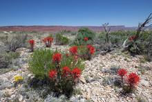 Indian Paintbrush In Bloom, Vermilion Cliffs National Monument, AZ