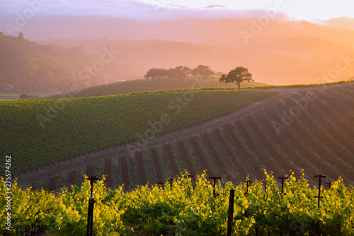 A generic Napa Valley vineyard