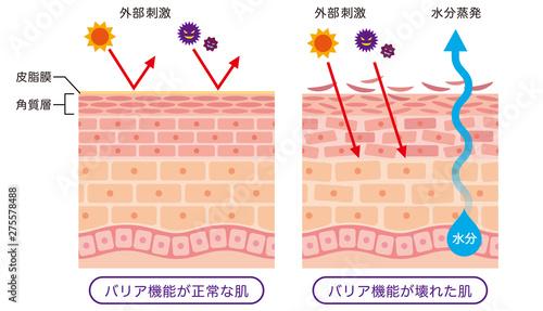Obraz 肌のバリア機能 皮膚構造 - fototapety do salonu